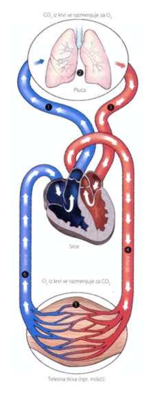 Slika 4 Cirkulacija krvi kroz srce, pluća i mišiće