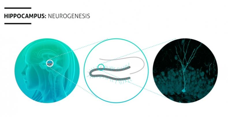 novi neuroni kod miševa